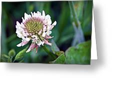 Clover Blossom Greeting Card