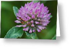 Clover In Dew Greeting Card
