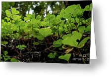 Clover In Montgomery Woods State Natural Reserve Greeting Card