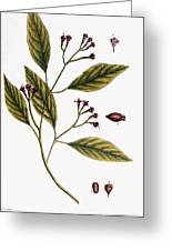 Cloves, 1735 Greeting Card