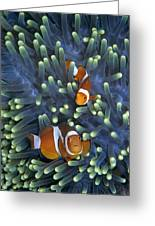 Clown Anemonefish Amphiprion Ocellaris Greeting Card