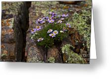 Clump Of Asters Greeting Card