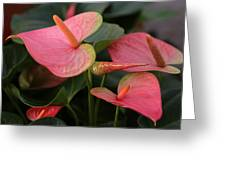 Cluster Anthurium Greeting Card