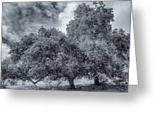 Coast Live Oak Monochrome Greeting Card