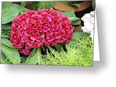 Cockscomb Flower Greeting Card