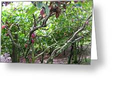 Cocoa Tree With Ripe Cocoa Pods Greeting Card