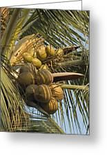 Coconuts Cluster At Los Tules Resort Greeting Card