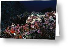 Cocos Island Octopus Hiding On Reef Greeting Card