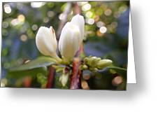 Coffee Blossom 2 Greeting Card