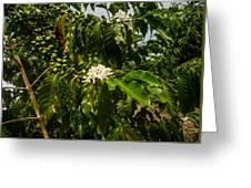 Coffee Cherries Greeting Card