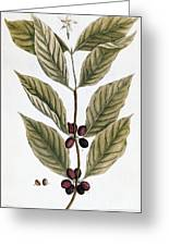 Coffee Plant, 1735 Greeting Card
