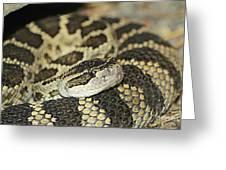 Coiled Rattlesnake Greeting Card
