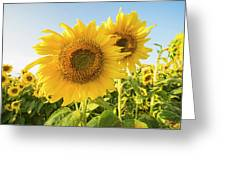 Colby Farms Sunflower Field Closeup Greeting Card