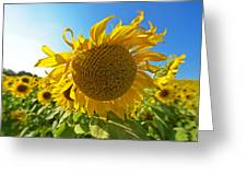 Colby Farms Sunflower Field Newbury Ma Ball Of Fire Greeting Card