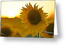 Colby Farms Sunflower Field Newbury Ma Closeup Sunset Greeting Card
