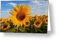 Colby Farms Sunflower Field Newbury Ma Sunrise Greeting Card