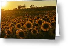 Colby Farms Sunflower Field Newbury Ma Sunset Greeting Card