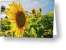 Colby Farms Sunflower Field Side Greeting Card