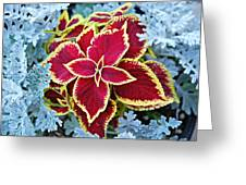 Coleus And Dusty Miller Greeting Card