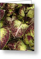 Coleus Plant Greeting Card