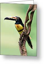 Collared Aracari Pteroglossus Greeting Card