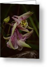 Columbine Curve Greeting Card