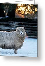 Colonial Sheep In Winter Greeting Card
