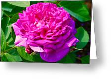 Color Of Rose Greeting Card