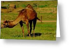 Colorado Camel  Greeting Card