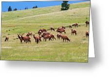 Colorado Elk Herd Greeting Card