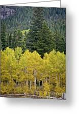 Colorado Golden Aspens Greeting Card