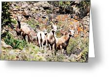 Colorado Mountain Sheep Greeting Card
