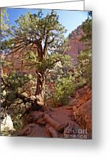 Colorado Pinyon Greeting Card