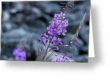 Colorado Wildflower Greeting Card