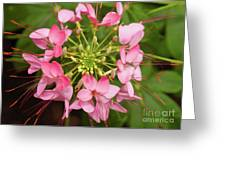 Colorful Cleome Greeting Card