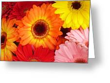 Colorful Gerber Daisies Greeting Card