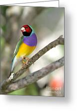 Colorful Gouldian Finch Greeting Card