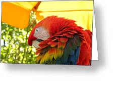 Colorful Macaw-1 Greeting Card