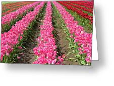 Colorful Rows Of Tulips Greeting Card