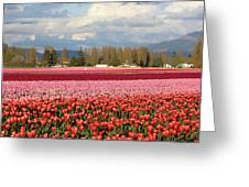 Colorful Skagit Valley Tulip Fields Panorama Greeting Card