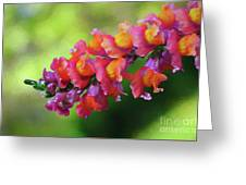 Colorful Snapdragon Greeting Card