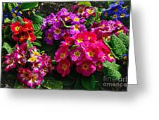 Colorful Spring Primrose By Kaye Menner Greeting Card