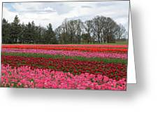 Colorful Tulips Blooming At Tulip Festival Greeting Card