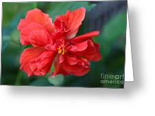 Colors Of The Tropics Hibiscus Greeting Card