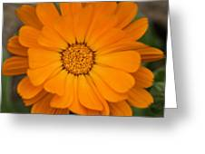 Colourful Orange Signet Marigold  Greeting Card