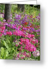 Colourful Primula Candelabra At Wisley Gardens Surrey Greeting Card
