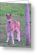 Colt Pony Greeting Card