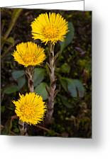 Coltsfoot Trio Greeting Card