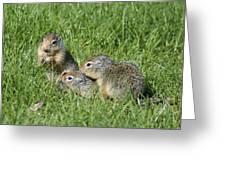 Columbian Ground Squirrels Greeting Card