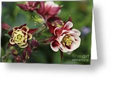 Columbine In Spring Greeting Card